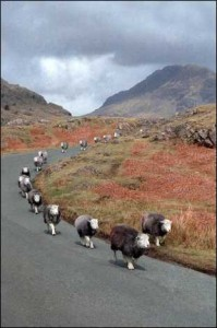 zzz_Sheep wasdale_1